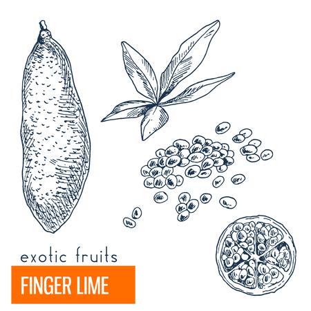 Finger lime. Hand drawn vector illustration, vintage enngraving style.