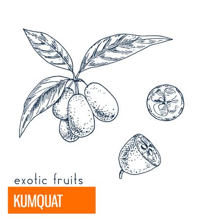 Kumquat. Hand drawn vector illustration, vintage enngraving style. Illustration