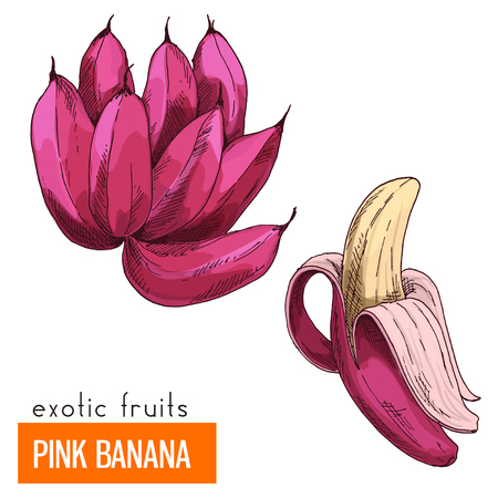 Pink banana. Full color realistic hand drawn vector illustration. Illustration