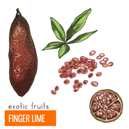 Finger lime. Full color realistic hand drawn vector illustration. Ilustração