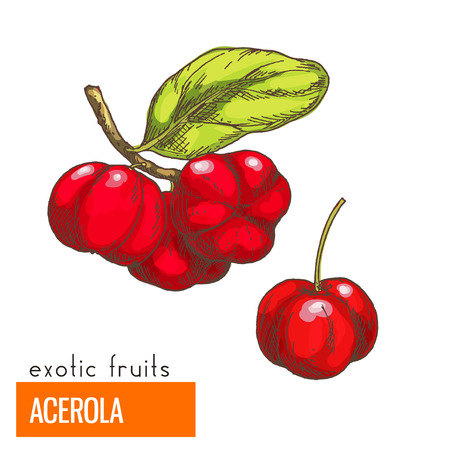 Acerola cherry. Full color realistic hand drawn vector illustration. Ilustração