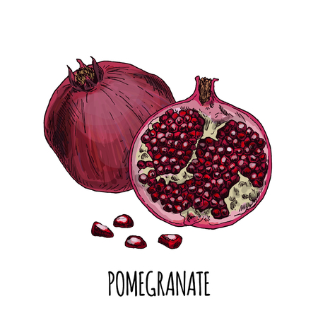 Pomegranate. Full color realistic hand drawn vector illustration.