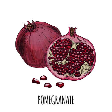 Pomegranate. Full color realistic hand drawn vector illustration.