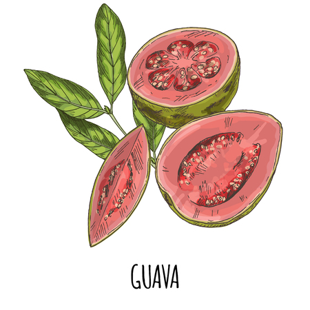 Guava. Full color realistic hand drawn vector illustration. 矢量图像