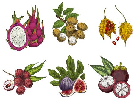 Frutti esotici, illustrazione vettoriale disegnato a mano, schizzo colorato. Pitahaya, longan, cundeamor, litchi, fichi, mangostano.