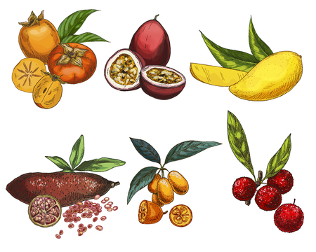 Exotic fruits, hand drawn vector illustration, colored sketch. Persimmon, passion fruit, mango, finger lime, kumquat, bayberry