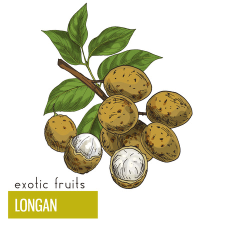 Longan, fruits wuth leaves. Exotic fruits, hand drawn vector illustration, colored sketch.