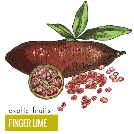 Finger lime with leaves and slice. Exotic fruits, hand drawn vector illustration, colored sketch.