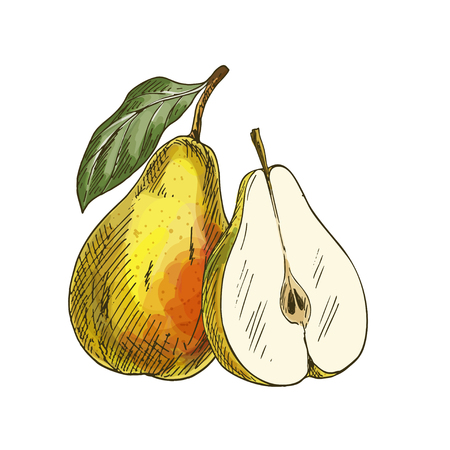 Yellow pear with leaf and half of fruit. Full color realistic sketch vector illustration. Hand drawn painted illustration.