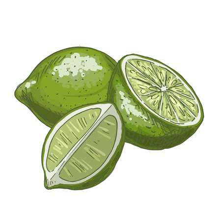 Lime. Full color realistic sketch vector illustration. Hand drawn painted illustration.