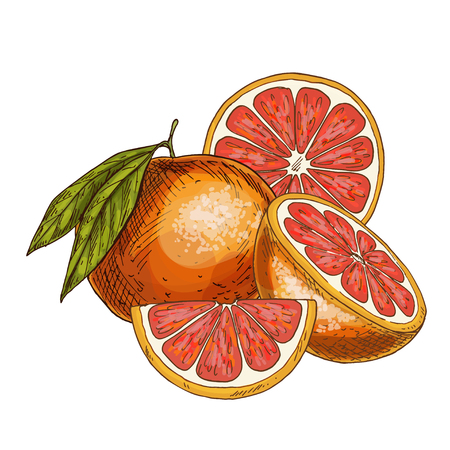 Grapefruit, half of fruit, slice. Full color realistic sketch vector illustration. Hand drawn painted illustration. Stock Illustratie