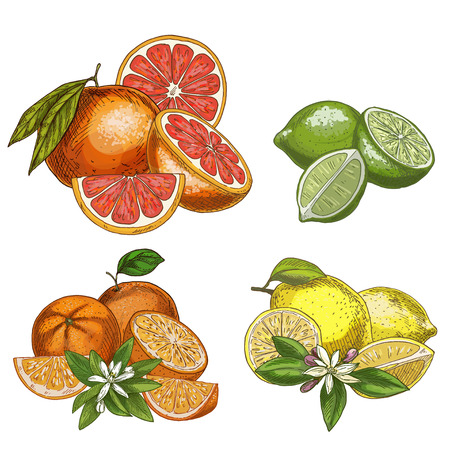 Citrus fruits with halves and flowers. Lemon, lime, grapefruit, orange. Full color realistic sketch vector illustration. Hand drawn painted illustration.