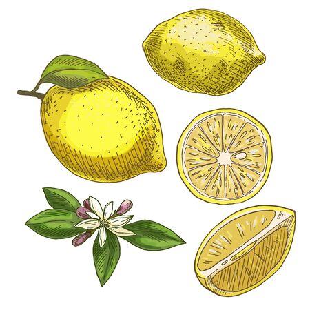 Zitrone mit Blatt, Hälfte der Frucht, Blume. Farbenreiche realistische Skizzenvektorillustration. Hand gezeichnete gemalte Illustration.