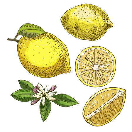 Lemon with leaf, half of the fruit, flower. Full color realistic sketch vector illustration. Hand drawn painted illustration. Illustration