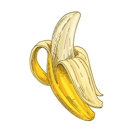 Banana. Full color realistic sketch vector illustration. Hand drawn painted illustration.
