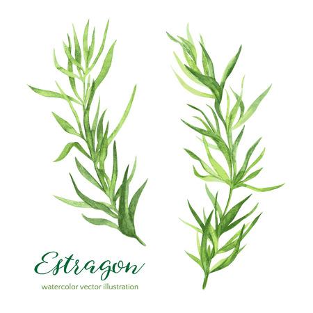 Estragon. Vector watercolor illustration, hand drawn clipart. Illustration