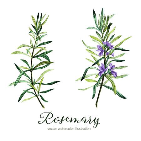 Rosemary. Vector watercolor illustration. Hand drawn clipart.  イラスト・ベクター素材