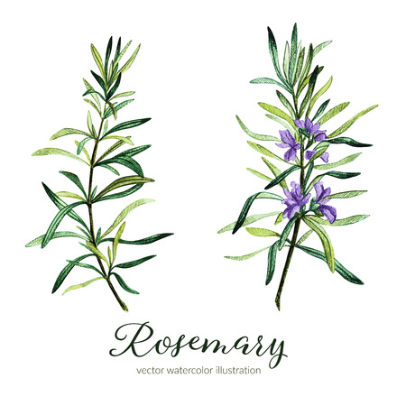 Rosemary. Vector watercolor illustration. Hand drawn clipart.  イラスト・ベクター素材