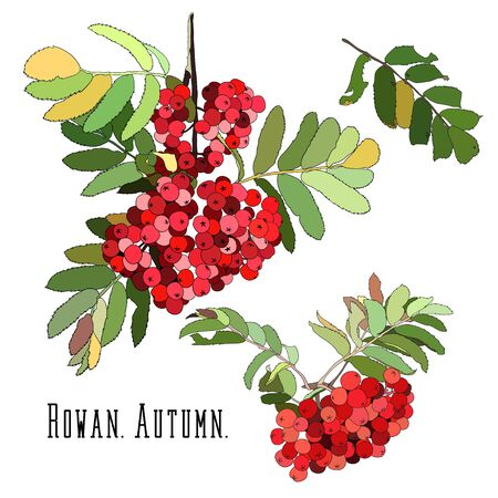 Bunches of red rowan berries with green leaves