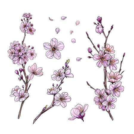 Sakura in bloom, set of three branches with flowers, buds and petals. Hand drawn vector illustration.