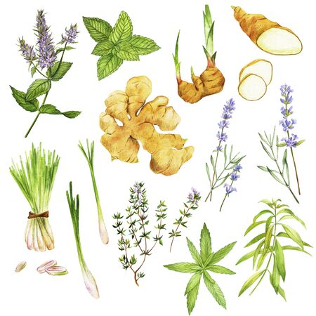 Tea herbs including peppermint and verbena, hand drawn watercolor