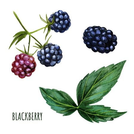 Blackberry with leaves, fresh berries. Hand drawn