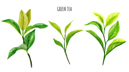 Green tea branches and leaves, Hand drawn