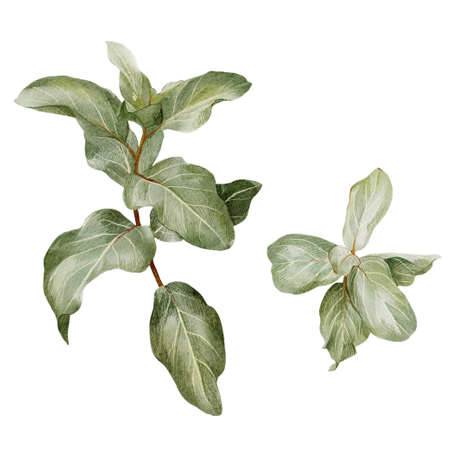 Silverberry branch, elaeagnus leaves, hand drawn Imagens