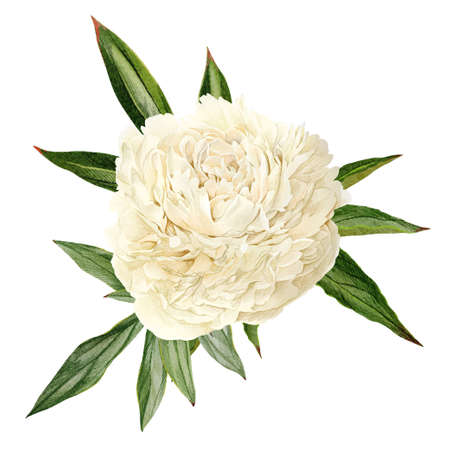 White peony flower with leaves, hand drawn