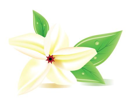 A vector frangipani flower on white background Vector