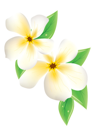 Frangipani flowers on white background Vector
