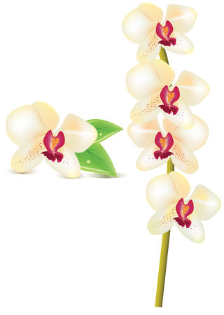 A vector white orchid Stock Vector - 6013899