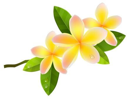 clip art draw: Frangiapani flowers
