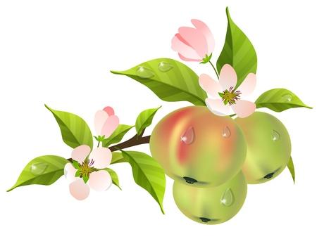albero di mele: JSD (84). jpg Vettoriali