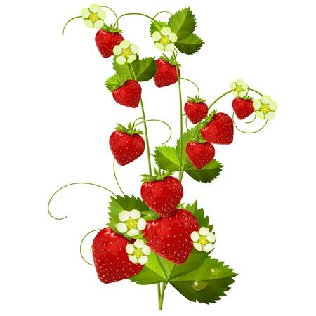 fraise: Fraise isol�e sur fond blanc