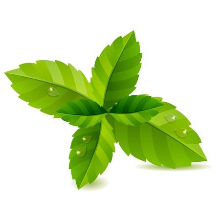 De menta fresca de hojas verdes aisladas