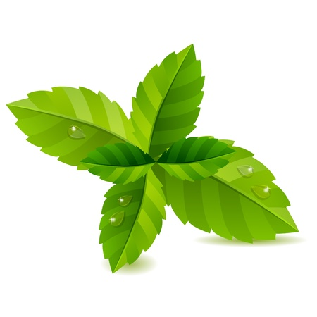 peppermint: Fresh green mint leaves isolated Illustration