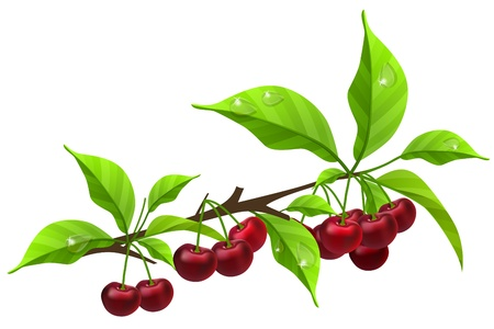 Realistic branch with ripe cherry Stock Vector - 10639843