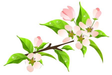 flowers close up: Apple tree branch in bloom Illustration