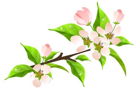 orchard fruit: Apple tree branch in bloom Illustration