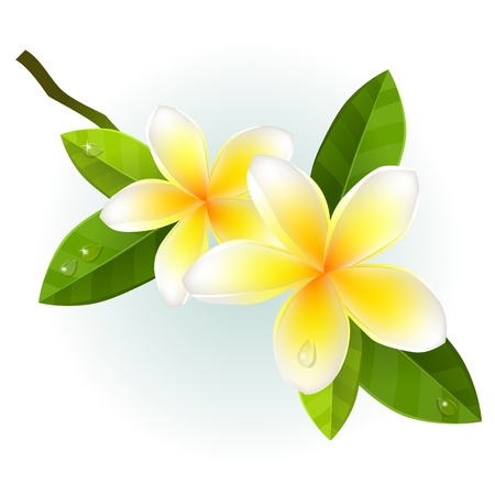 tropics: Frangiapani flowers isolated Illustration