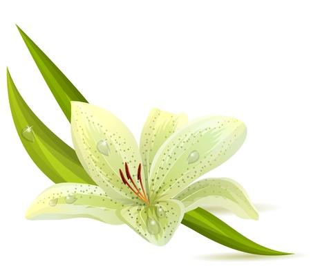 lily leaf: White lily isolated Illustration