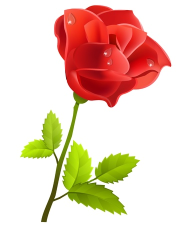 rosa: Red rose isolated