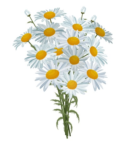 marguerite: White realistic daisies isolated