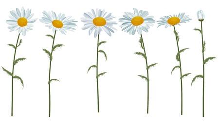 Margherite bianche realistici isolati su bianco