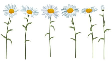 daisy flower: White realistic daisies isolated on white