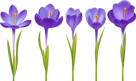 Various realistic crocus flowers isolated on white