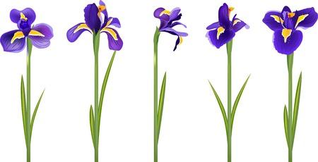 Set met vijf gedetailleerde realistische irissen Stock Illustratie