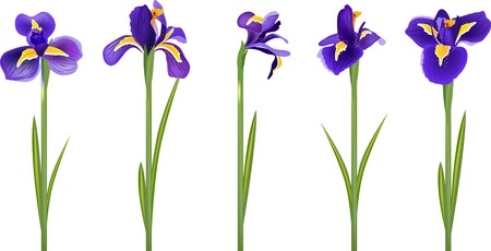 iris flower: Set with five detailed realistic irises