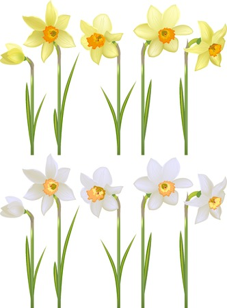 jonquil: Set with white and yellow detailed realistic daffodils